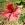Hibiscus - Ascilah
